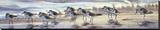 Shoreline Sanderlings