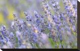 Lavender on the Plateau of Valensole  Puimoisson  Provence-Alpes-Cote d'Azur  France