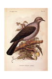 Color Lithographs of Indonesian Animals