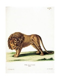 Lion from group of color lithographs of African animals  19th c