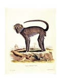 Monkey  from group of color lithographs of African animals  19th c