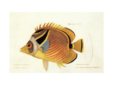 Butterfly Fish  from group of color lithographs of fishes animals  1830