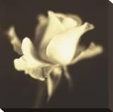 Rose Impression I