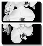 Orchid Portrait I