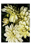 Lemon Dahlias II