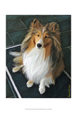 Sheltie Bred to Bark