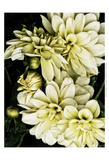 Lemon Dahlias I