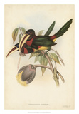 Tropical Toucans VIII