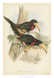 Tropical Toucans VII