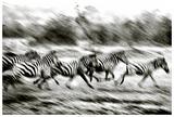Stampeding Zebra