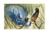 Blue-Bird of Paradise  1909