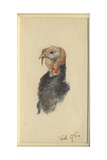 Study of a Turkey  1895