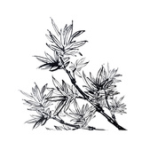 Chinese Traditional Ink Painting  Bamboo On White Background