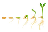Sequence Of Pumpkin Plant Growing Isolated Evolution Concept