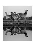 Zebra With Water Reflection