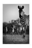 Zebra In Black And White Reproduction d'art par Donvanstaden