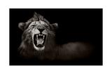 Lion Displaying Dangerous Teeth Reproduction d'art par Donvanstaden