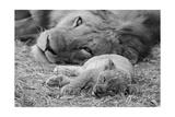 Cute Lion Cub Resting With Father Reproduction d'art par Donvanstaden