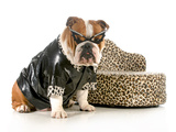 Female Bulldog Humanized With Leather Coat And Glasses Sitting Beside Couch Isolated