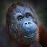 Happy Smile Of The Bornean Orangutan (Pongo Pygmaeus)