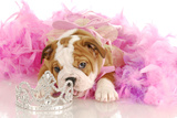 Spoiled Dog - English Bulldog Puppy Chewing On Tiara Surrounded By Pink Feathers