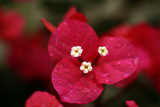 Extreme Close-Up On A Bougainvillea
