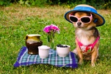 Tiny Chihuahua Dog Wearing Suit  Straw Hat And Glasses Relaxing In Meadow