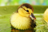 Cute Ducklings Swimming  On Bright Background