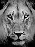 Lion Portrait In Black And White