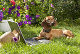 Clever Dog Dachshund In Glasses And Laptop Computer