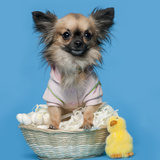 Chihuahua  16 Months Old  Sitting In Front Of Blue Background With Easter Basket