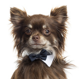 Close Up Of A Chihuahua Wearing A Bow Tie  Isolated On White