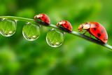 Ladybugs Family On A Dewy Grass Close Up With Shallow Dof