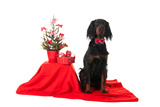 Sitting Gordon Setter Dog Near The Christmas Tree