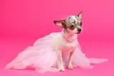 Adorable Chihuahua Dressed Like Ballerina Dancer