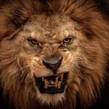 Close-Up Shot Of Roaring Lion Papier Photo par NejroN Photo