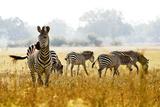 Zebra Herd In The Wild Papier Photo par Donvanstaden