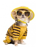 Chihuahua Dressed With T-Shirt  Straw Hat And Sun Glasses