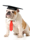 Pet Graduation - English Bulldog Wearing Graduation Cap And Red Tie