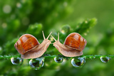 Love-Making Snails Couple On A Dewy Grass Love Metaphor