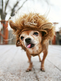 A Little Chihuahua Dressed As A Lion