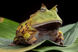 Pacman Frog Or Toad
