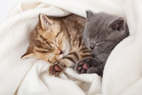 Two Little Funny Scottish Fold Kittens Isolated On A White Background