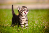 Tabby Kitten Outdoors Meowing