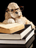 American Cocker Spaniel Wearing Reading Glasses