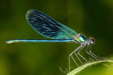 Dragonfly Outdoor (Coleopteres Splendes)