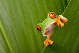 Red Eyed Tree Frog Peeping Curiously Between Green Leafs In Costa Rica Rainforest