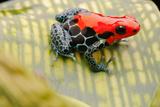 Tropical Pet Frog  Ranitomeya Amazonica