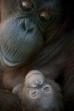 Mother Orangutan And Her Newborn Baby 1 Months - Pongo Pygmaeus