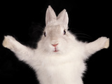 Funny Rabbit With Open Pads On Black Background